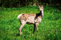 Young deer in the meadow red lat cervus elaphus — cloven hoofed mammal of family red combines many subspecies Royalty Free Stock Photos