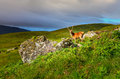 Young deer in the meadow at Scottish highlands Royalty Free Stock Photo