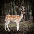 Young deer posing in the forest Royalty Free Stock Photography