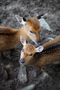 Young deer roe baby and deer mother on cold day Stock Photos