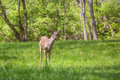 Young deer in a suburban backyard buck with new antlers growing is looking curious yard the is standing on manicured lawn with Stock Photography
