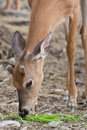 Young deer with velvet antlers a in its natural environment Royalty Free Stock Image