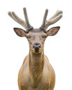 Young deer on white background Royalty Free Stock Photos