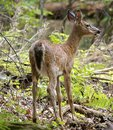 The young deer wild is eating leaves in forest Royalty Free Stock Images