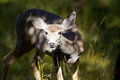 Young Deer in the Yukon Territories, Canada Royalty Free Stock Photo