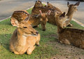 Young deers Stock Images