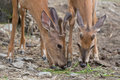 Young deers with velvet antlers two in their natural environment Stock Photography