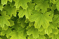 Young delicate leaves of maple Stock Photos