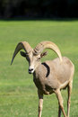 Young desert bighorn ram a sheep standing Royalty Free Stock Images