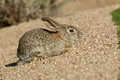 Young desert cottontail rabbits a cute rabbit Royalty Free Stock Image