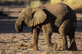 Young desert elephant of Namibia Stock Image