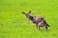 A young doe in a field urinating deer urinates or pees grass Royalty Free Stock Photos