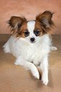 Young dog of breed papillon on a beige background Stock Photo