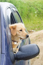 Young dog looking through car side window Royalty Free Stock Photo