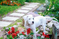 Young dogo argentino in the garden surrounded by flowers Royalty Free Stock Image