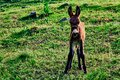 Young donkey on a mountain pasture, with green grass. Country landscape. Royalty Free Stock Photo