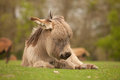 Young donkey sleeping lying down with eyes closed dreaming Royalty Free Stock Image