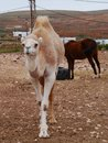 A young dromedary in a paddock arabian camel or wwith horse on the canary island fuerteventura belonging to spain Stock Photos
