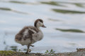 Young duck Royalty Free Stock Photo