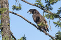 Young eagle opens beak a junior bald is perched in a small branch with a blue sky in the background Stock Images