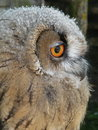 Young eagle owl Royalty Free Stock Image