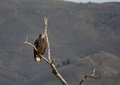 Young Eagle in a Tree Stock Photography