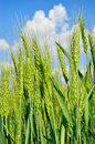 Young Ears of wheat against the blue sky. Agricultural plants at maturity and harvest Royalty Free Stock Photo