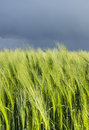 Young ears of wheat amid gloomy sky vertical Royalty Free Stock Photo