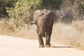 Young elephant charge aggressive along a road to chase danger Stock Images