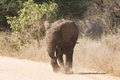 Young elephant charge aggressive along a road to chase danger away Stock Photos