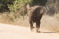 Young elephant charge aggressive along a road to chase danger away Stock Photo