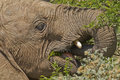 Young elephant eating detailed view of a leaves of a thorn tree Stock Image