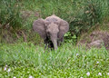 Young elephant eating grass Royalty Free Stock Photo