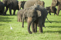 A young elephant in a herd of sri lankan the largest of four subspecies of the asian the minneriya national Stock Photos