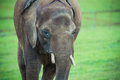 Young elephant a kept in captivity Stock Photos