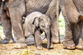 Young elephant Royalty Free Stock Photo