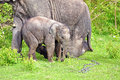 Young elephant right next to an adult one. Royalty Free Stock Photo