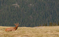 Young elk buck rests hill rocky mountain national park summer time Royalty Free Stock Photo