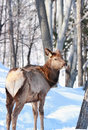 Young elk in forest during winter Royalty Free Stock Photography