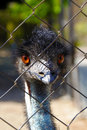 Young emu looking curiously at the camera bird staring curiouly from behind a fence in a small birds enclosure in benalmadena Stock Photo