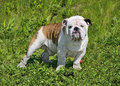 Young english bulldog beautiful male standing in the grass Stock Images