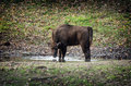 Young european bison drinks water or wisent bonasus from a puddle Stock Photo