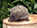 Young European hedgehog Stock Photos