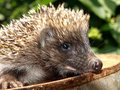 Young European hedgehog Royalty Free Stock Photography