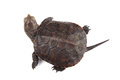 Young European pond turtle isolated on white Royalty Free Stock Photo