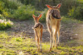 Young fallow dear with mum Royalty Free Stock Photo