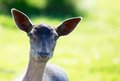 Young Fallow Deer Head backlit Royalty Free Stock Photo