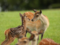 Young fallow deer and mother close up of a being comforted by her Royalty Free Stock Images