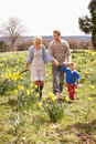 Young Family Walking Amongst Spring Daffodils Stock Image