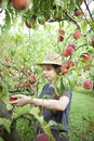 Young farmer woman with plait and straw hat who gathers peaches from tree pretty Stock Photos